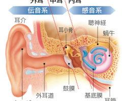 耳の構造・仕組みと難聴の種類